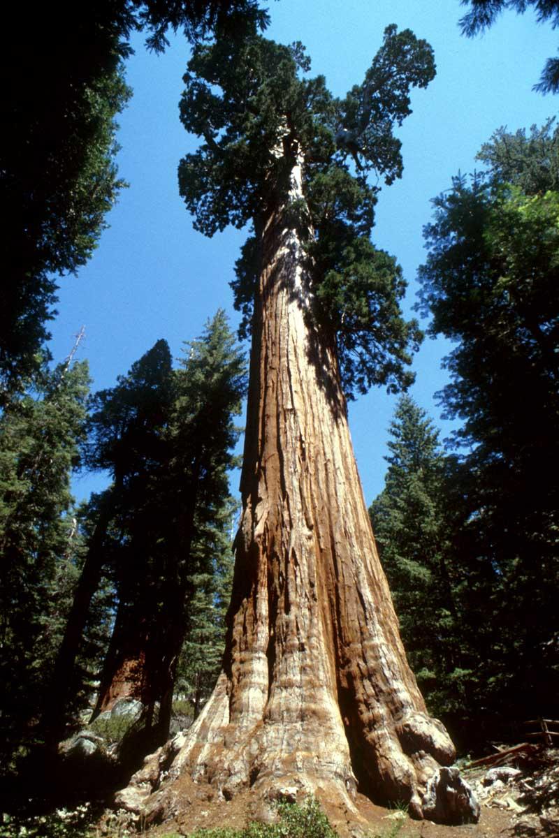 A rvore mais alta do mundo maior rvore do mundo for Arboles altos para jardin
