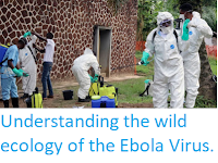 https://sciencythoughts.blogspot.com/2019/09/understanding-wild-ecology-of-ebola.html