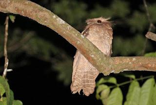 Voyage Ornitoloque Sulawesi et Halmahera 22 Jours