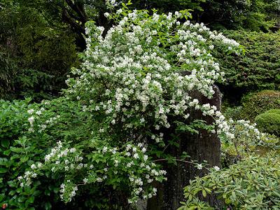 Baikautugi (Philadelphus satsumi) flowers: Kaizo-ji