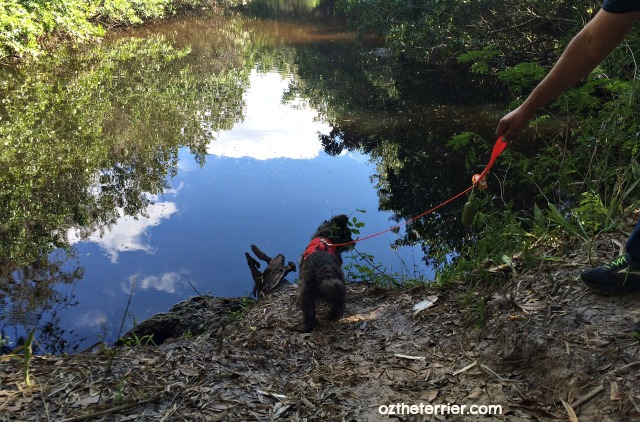 Oz the Terrier hikes a trail along Estero River in Koreshan Historic Site