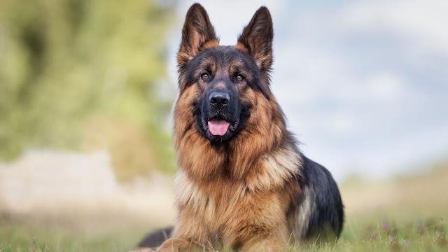 how long does German shepherd stay in heat