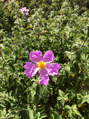 Member of the Cistaceae family: Cistus creticus.