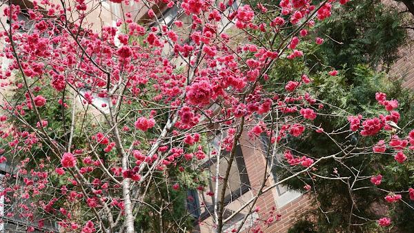 彰化賞櫻秘境 大葉大學校園櫻花繽紛盛開