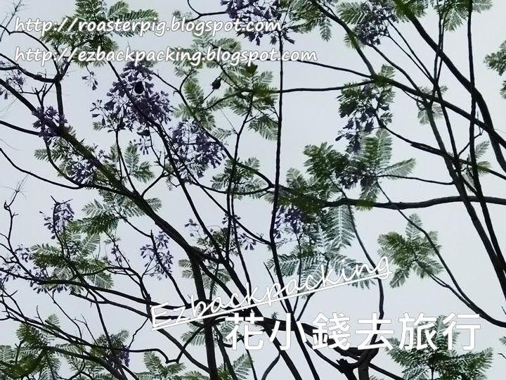 沙田公園藍花楹