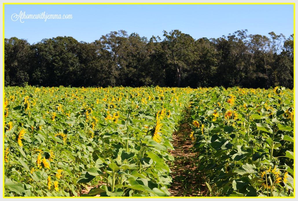 alabama-sunflower-farm-family-pumpkins-fall-festival-athomewithjemma