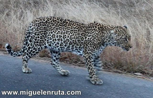 Leopardo-Berg-En-Dal-Kruger