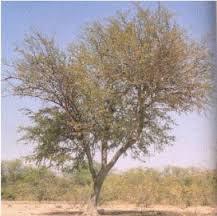 arboles nativos argentinos Mistol Ziziphus mistol