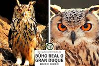 El Gran Duque o búho Real, Bubo bubo, en Arboles y Arbustos