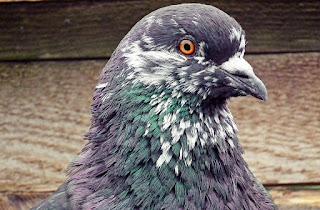 Burung Merpati Kolong