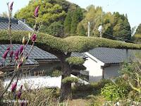 A very well-trained tree - Kagoshima, Japan