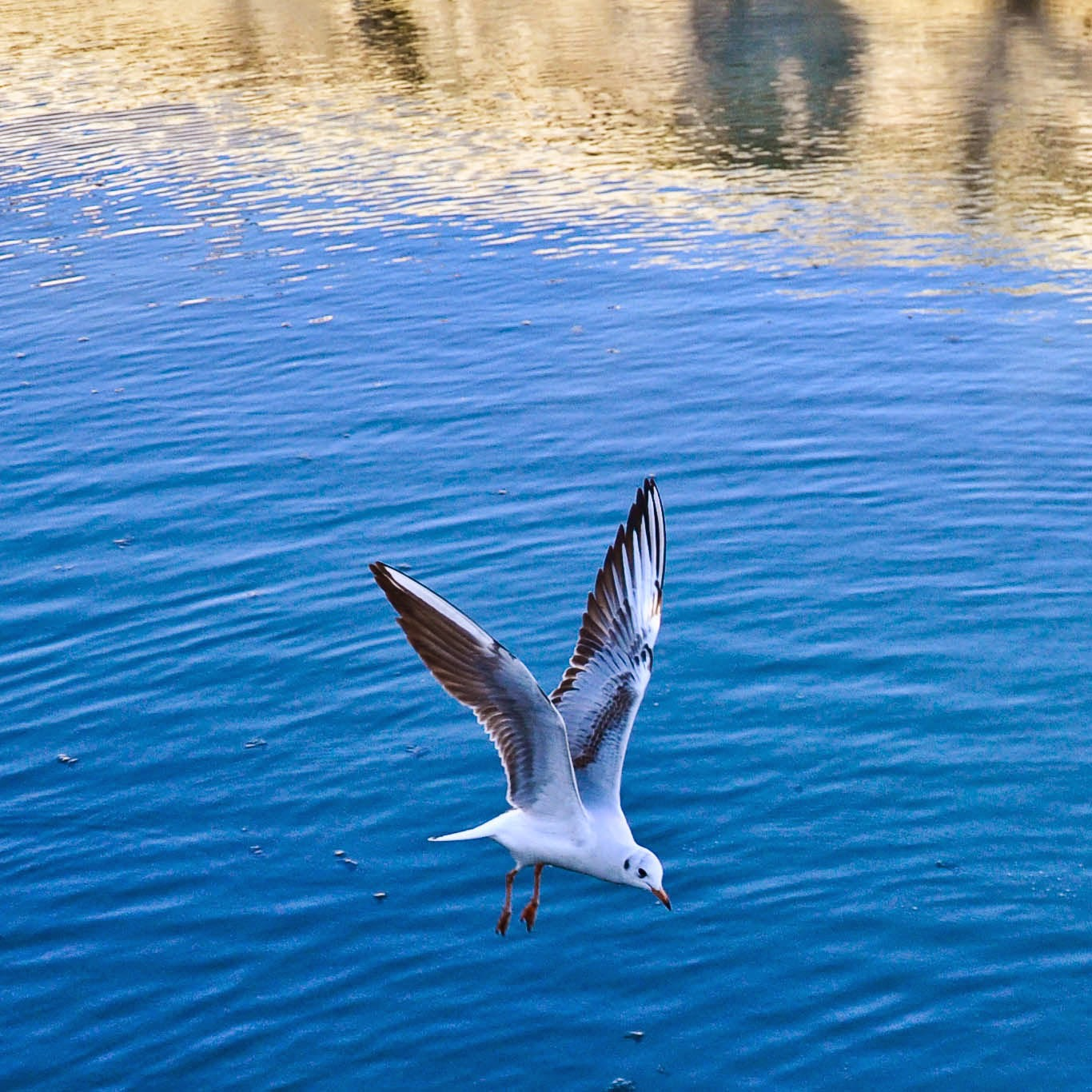 A seagull flying above Prato della Valle - the biggest square in Italy