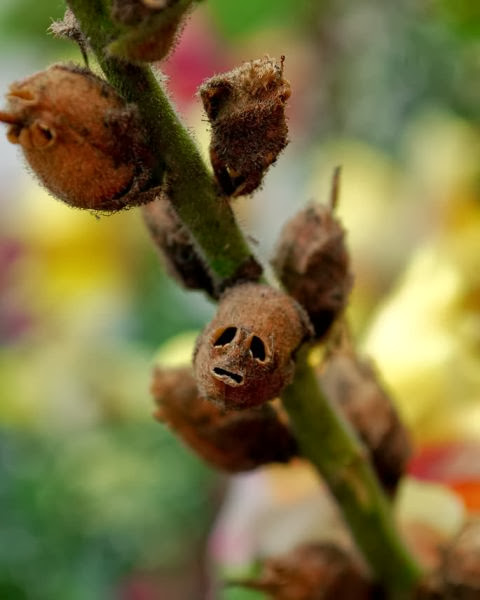 bunga hias potong Snapdragon, Bunga Ini Akan Berubah Menyerupai Tengkorak Manusia Saat Layu