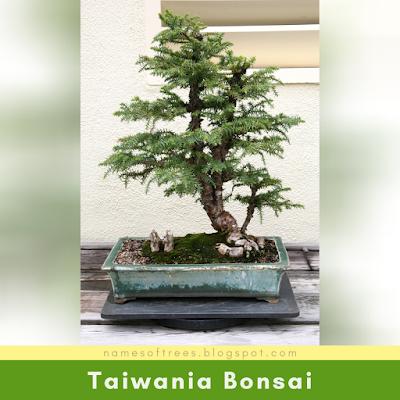 Taiwania Bonsai