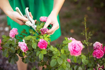 Cuidar de Roseiras