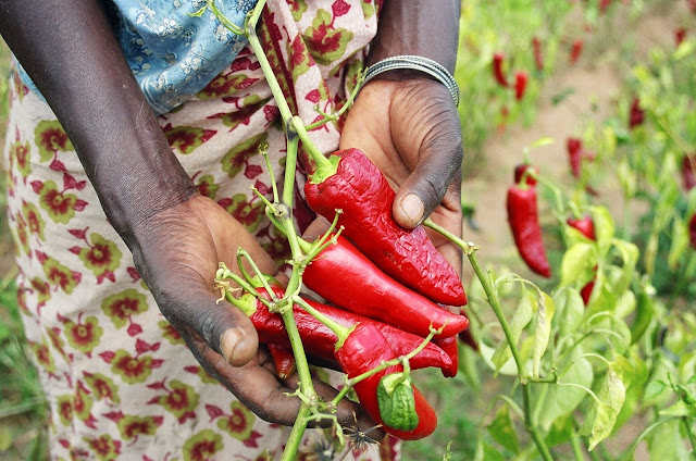 Africa hot pepper