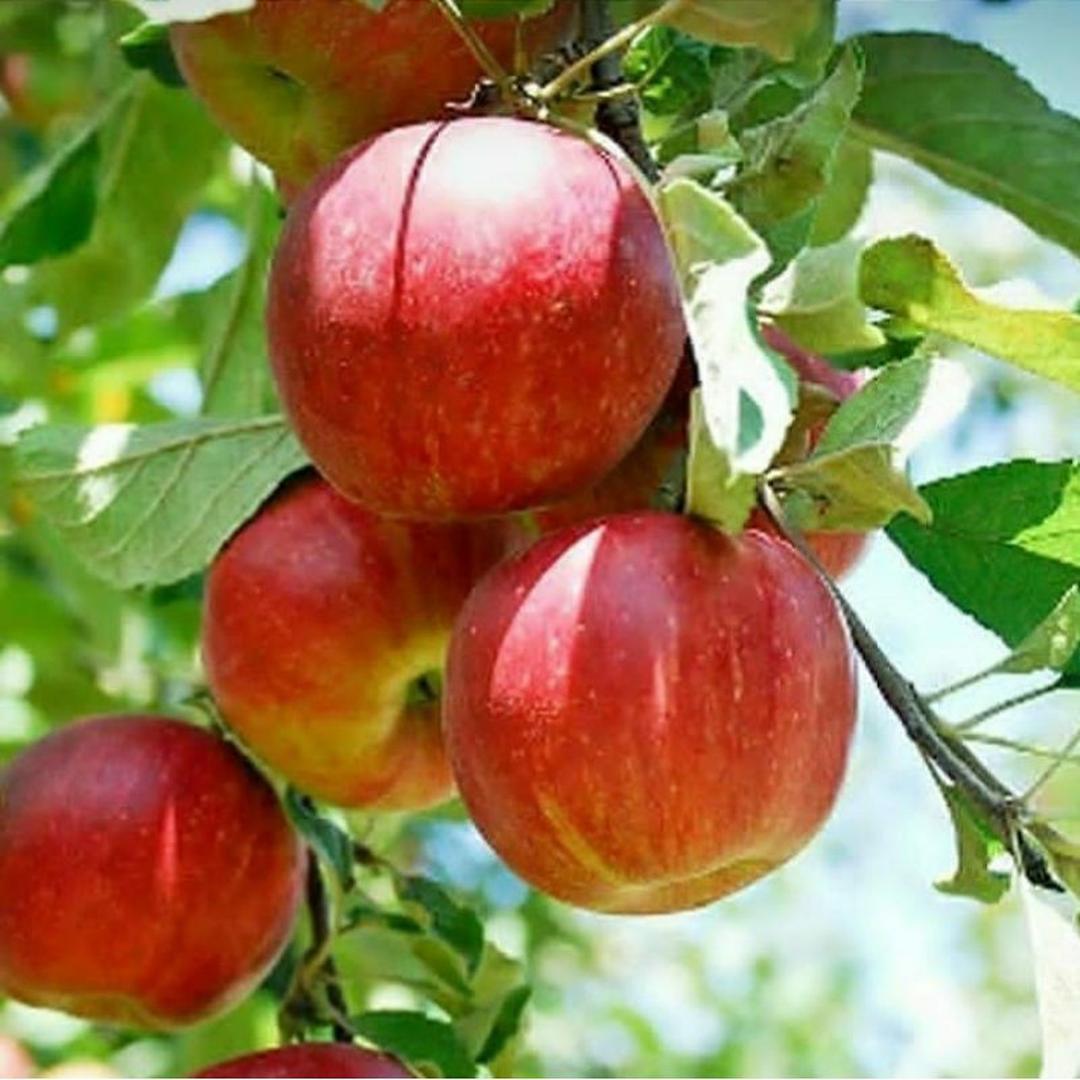 Kualitas Super! bibit buah apel malang Kota Kediri #bibit
