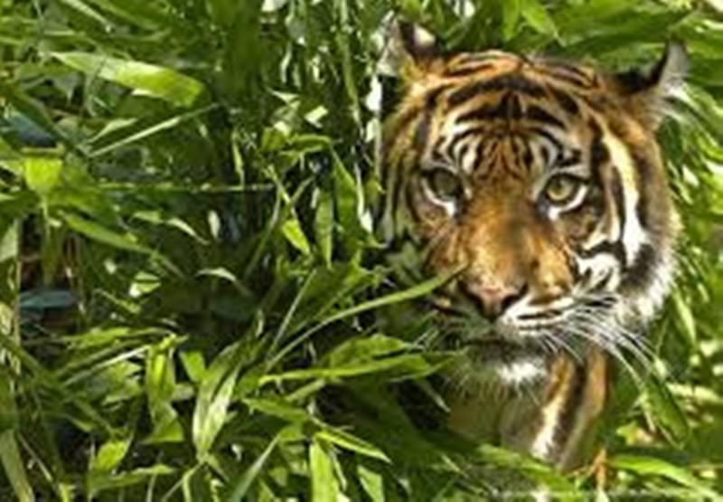Tragis! Petugas Kebun Binatang Ini Tewas Mengenaskan Setelah Diterkam Seekor Harimau