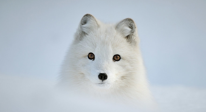 White Wolf : 10 Photographs of Arctic Foxes That Will Blow Your ...