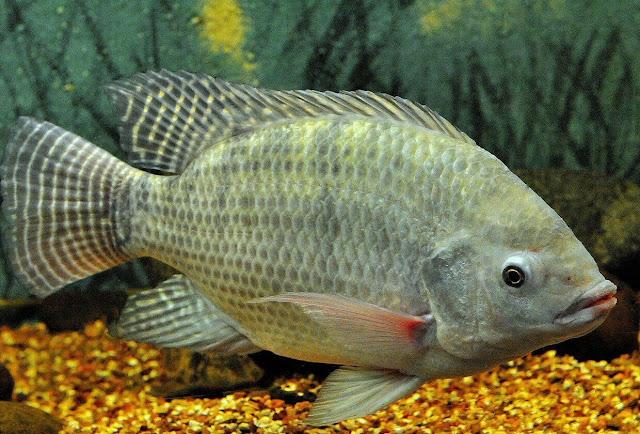 5 Jenis Pakan Ikan Nila yang Mudah Didapat dari Lingkungan Sekitar