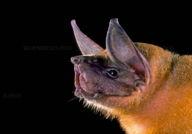 Bat bulldog