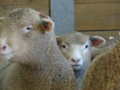 farm life lambs Devon holly water holidays Glamping