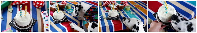 Collage of young Dalmatian dog sniffing and licking homemade dog birthday cake at party buffet table