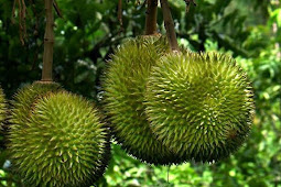 Turning Durian Skins In to Energy