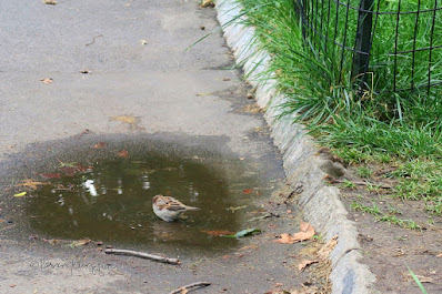 "This photo features two House sparrows. One, a male,  is in a puddle. The other a young sparrow is on the sidelines. The picture was taken in Central Park. This bird type is featured in my three volume book series, ""Words In  Our Beak."" Info re these books is in another post on this blog @ https://www.thelastleafgardener.com/2018/10/one-sheet-book-series-info.html"