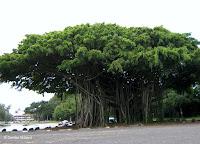 Giant banyan tree, Hilo, Hawaii