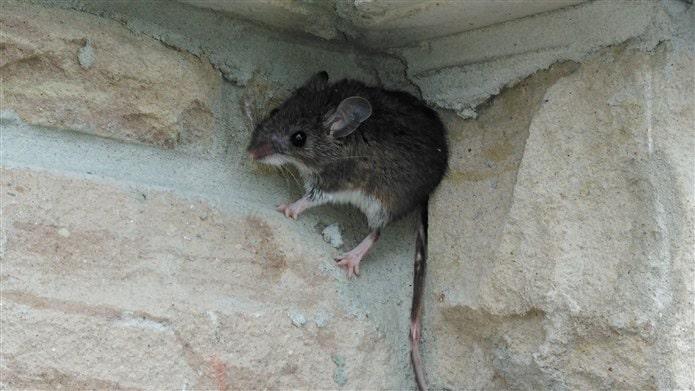 Sineklik eve fare girmesini engeller