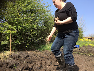 Planting potatoes, life on pig row