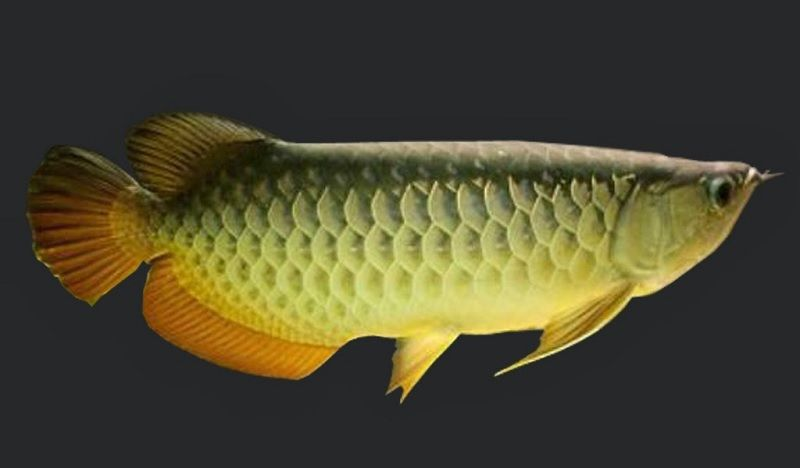 Gambar Ikan Arwana Golden Red jenis Red-Tail Golden Arwana