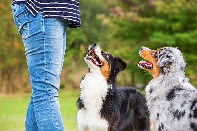 Training two Australian Shepherds. All about dog training & how to train your dog.
