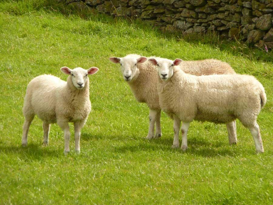 Sheep | The Biggest Animals Kingdom