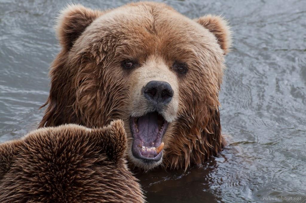 <b>Kodiak Bears</b> Zoom Erlebniswelt