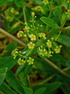 Marzanna barwierska opis działanie zioło