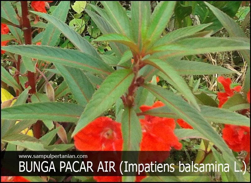 Kandungan Dan Manfaat Tanaman Bunga Pacar Air Impatiens Balsamina L Untuk Kesehatan Dan Pengobatan