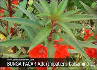 Kandungan dan Manfaat tanaman Bunga Pacar Air (Impatiens balsamina L.) untuk Kesehatan dan Pengobatan