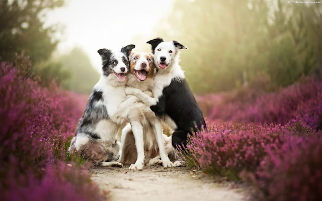 Shepherd-Dogs-hugging