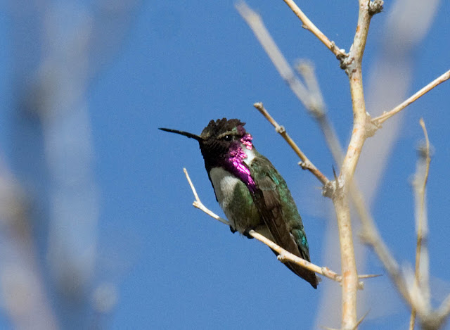 Costa's Hummingbird Vallecito County Park.