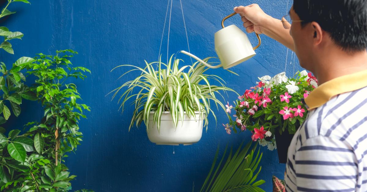 ومن أجمل النبتات المنزلية سهلة الأعتناء نبتة العنكبوت