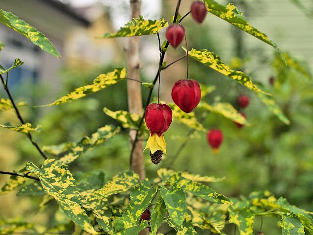 Abutilon megapotamicum 'Variegatum' flowers and foliage