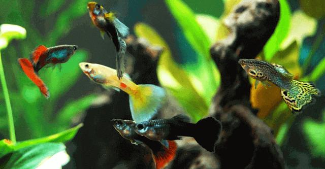 Ikan Guppy Termahal dan Tercantik di dunia
