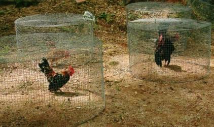 penjemuran ayam serama