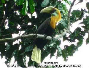 Hornbill can be watched in most part of New Guinea and its surrounding islands.