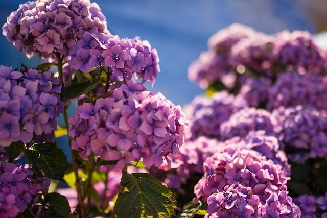 fioletowe hortensje ogrodowe