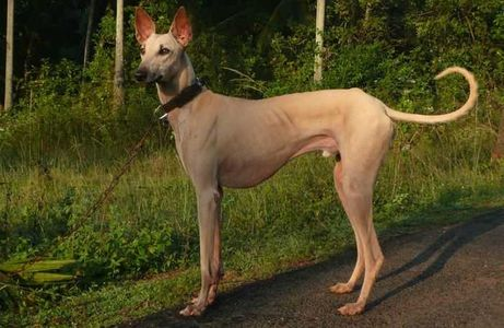 Indian Dog breeds Who Look Like The Doberman Pinscher Dog Breed