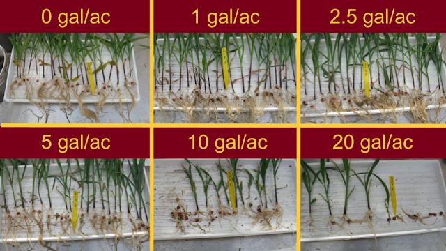 starter fertilizer damage corn dry field minnesota