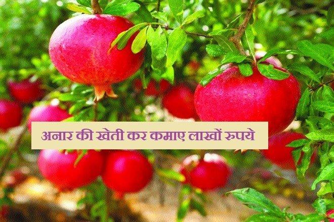 किसान अनार की खेती की कर कमा रहा है सालाना लाखों रुपये